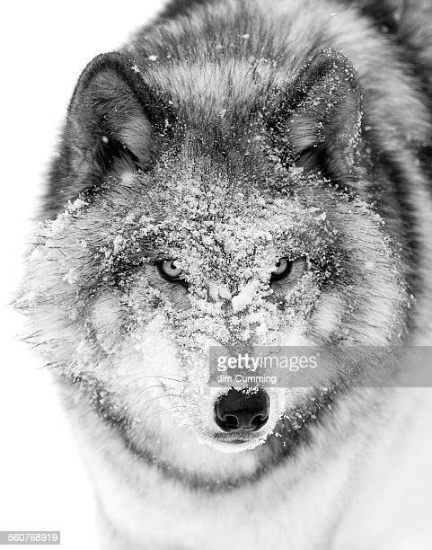Timber wolf snow face
