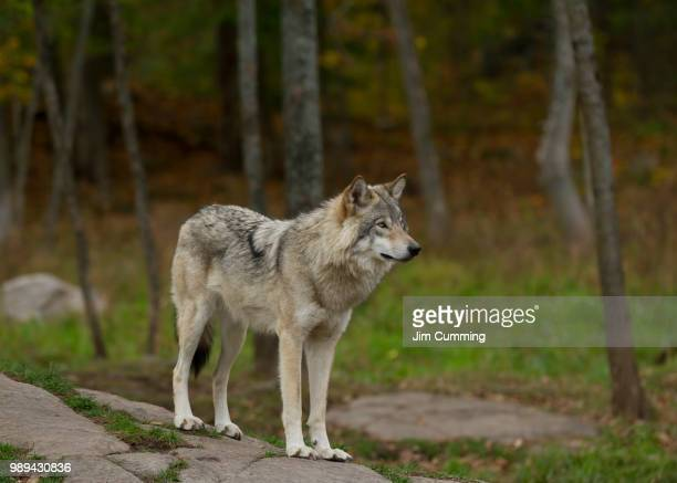timber wolf (canis lupus) standing on a rocky cliff on an autumn day in canada - lupo foto e immagini stock
