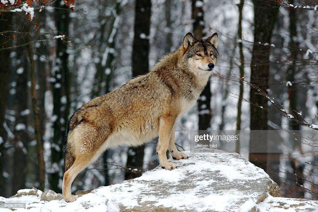 Timberwolf, , Mackenzie Valley Wolf, Deutschland, Germany News Photo