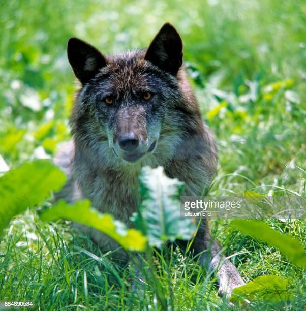 Timberwolf mit schwarzdunklem Fell ein vor allem in Nordamerika haeufig auftretender Melano