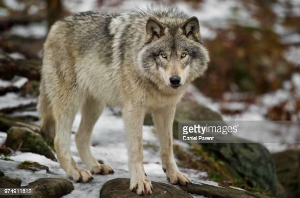 A timberwolf on frosty rocks.