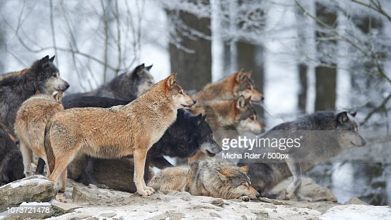 Timberwolves High Res Stock Photo Getty Images
