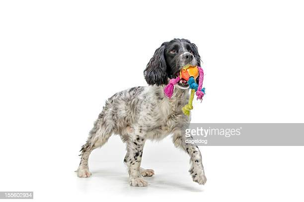 time for a game - english springer spaniel stock pictures, royalty-free photos & images