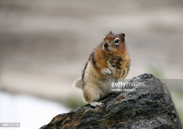 time for shot - pika stock pictures, royalty-free photos & images