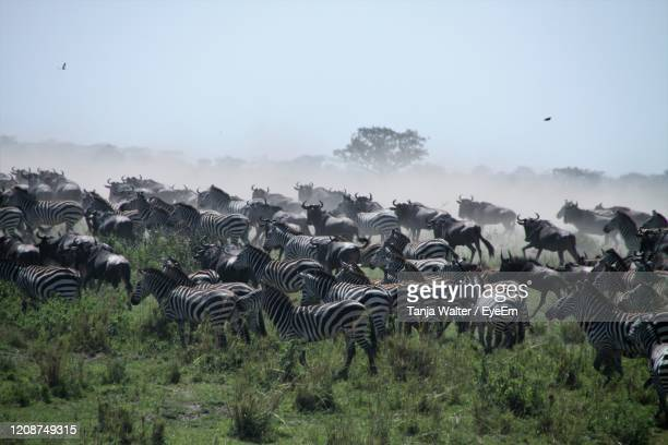 time of great migration - the herds are moving - animated zebra stock pictures, royalty-free photos & images