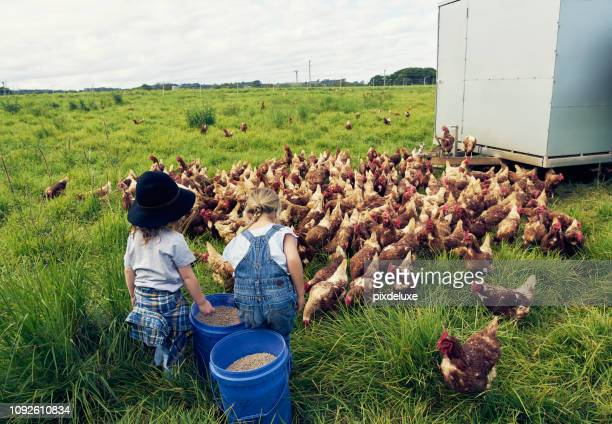 time to feed all the hungry hens - poultry stock photos and pictures