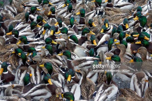 time to feed ducks - rookery stock pictures, royalty-free photos & images