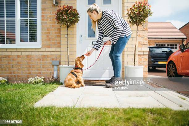 time to go for a walk - cocker spaniel stock pictures, royalty-free photos & images