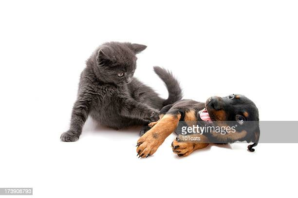 time to play - dog and cat stock photos and pictures