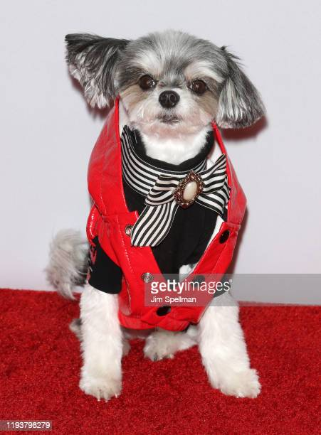Tinkerbelle the Dog arrives at iHeartRadio's Z100 Jingle Ball 2019 at Madison Square Garden on December 13, 2019 in New York City.