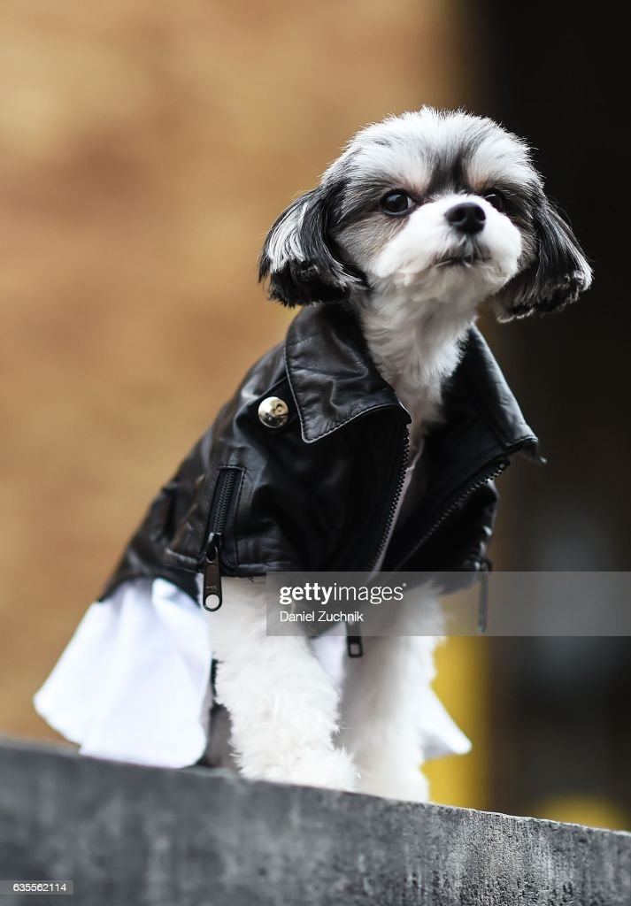 Tinkerbelle the Dog is seen wearing a leather jacket outside the Anna Sui show during New York Fashion Week on February 15, 2017 in New York City.