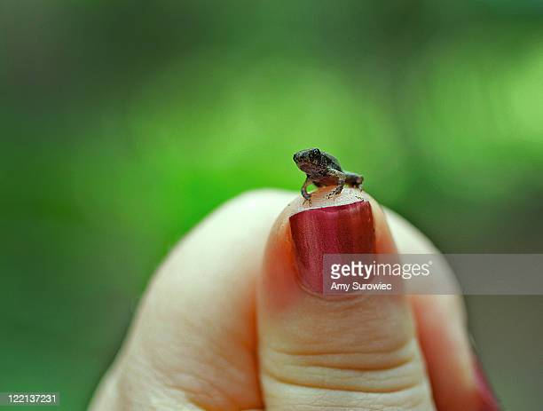 Tiny baby toad frog on thumb