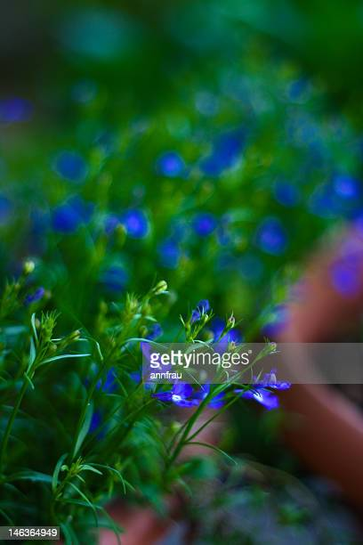 tiny blue flowers - annfrau stock photos and pictures
