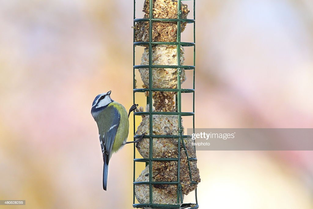 tiny blue tit looking at food : Stock Photo