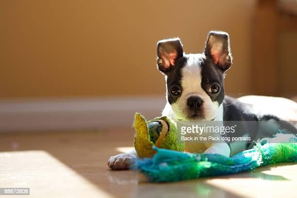 tiny boston terrier puppy chewing on toys
