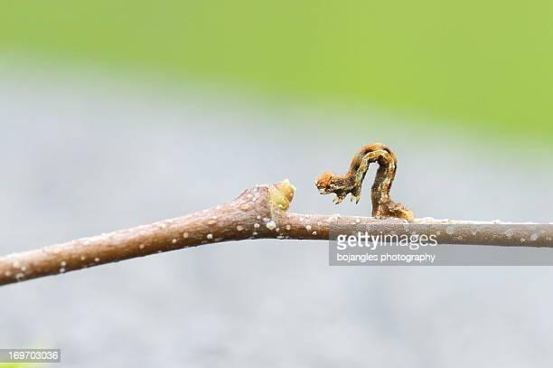 Tiny Catapillar (inch worm)