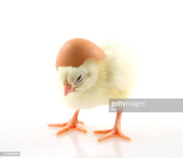 Tiny chick with helmet