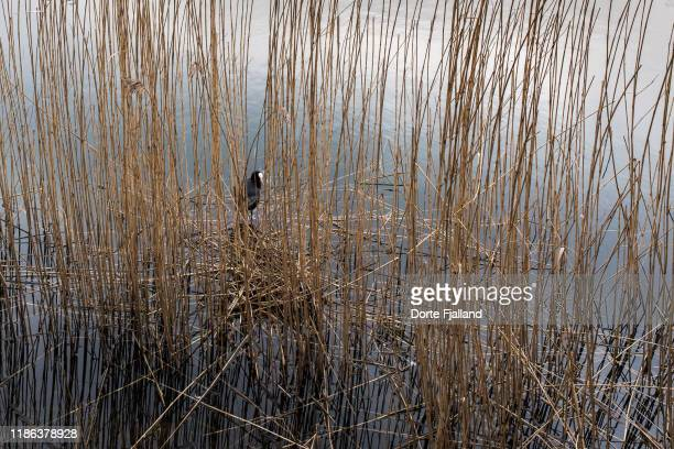 a tiny coot between reed grass on a lake - dorte fjalland stock pictures, royalty-free photos & images