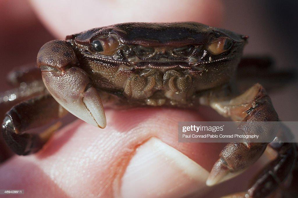 Tiny Crab : Stock Photo