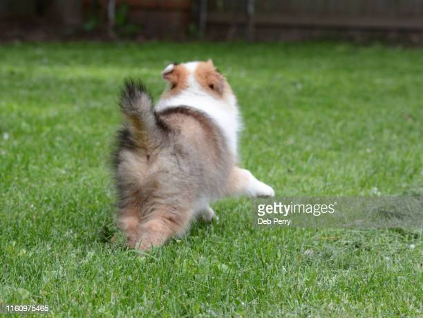 tiny, cute pup frolicking in the grass with tail held high - big arse stock pictures, royalty-free photos & images