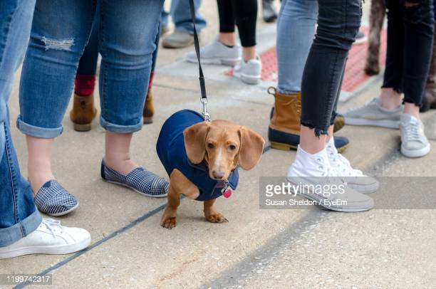 tiny dachshund dog looks a bit lost in this sea of human legs and feet - by sheldon levis fotografías e imágenes de stock
