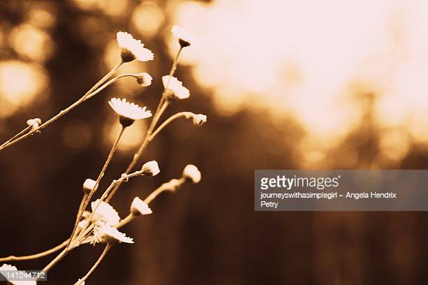 tiny daisy flowers in sepia tones - bloomington indiana stock pictures, royalty-free photos & images