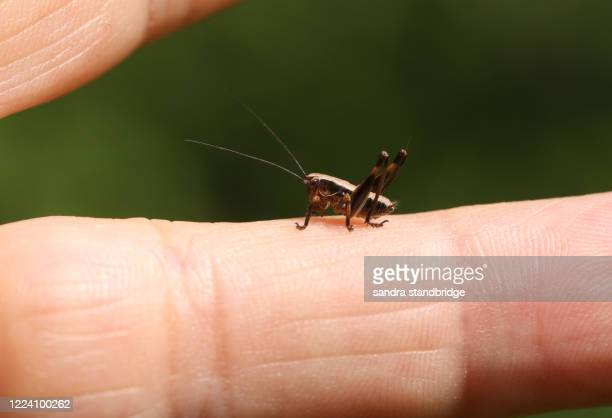 a tiny dark bush-cricket nymph, pholidoptera griseoaptera, perching on a finger in springtime. - cricket insect stock pictures, royalty-free photos & images