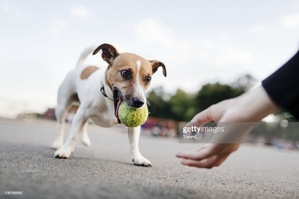 Tiny Dog (Jack Russel) Wants To Play With Ball : Stock Photo