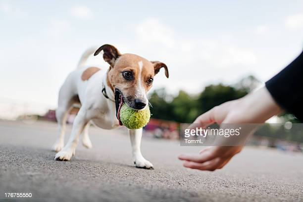 tiny dog (jack russel) wants to play with ball - jack russell terrier bildbanksfoton och bilder