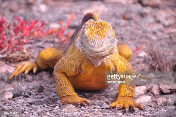 tiny dragon - galapagos land iguana stock photos and pictures