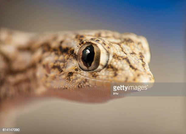 Tiny gecko on blue background