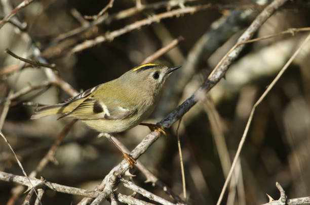 A tiny Goldcrest, Regulus regulus, hunting for insects to eat in a bramble bush.