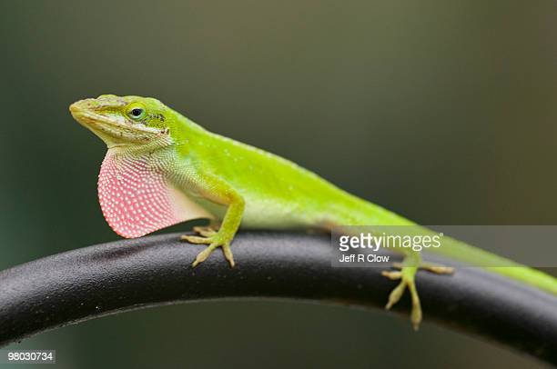 anole lizard stock photos and pictures getty images