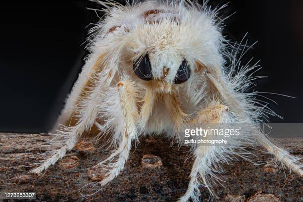 tiny hairy moth - extreme close up stock pictures, royalty-free photos & images