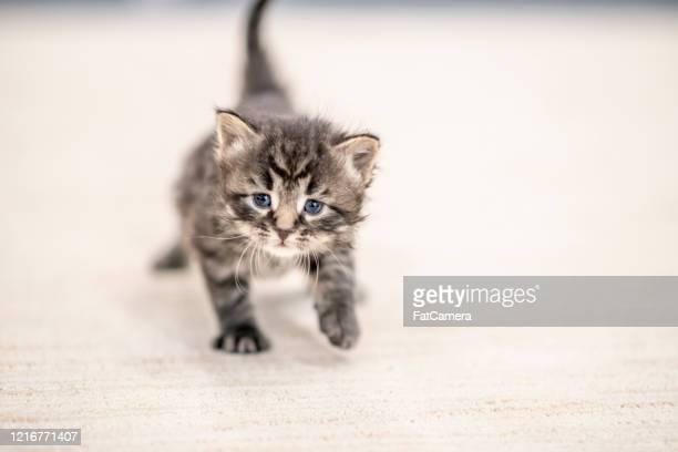 gatinhos pequenos brincam na sala de estar. - filhote de animal - fotografias e filmes do acervo