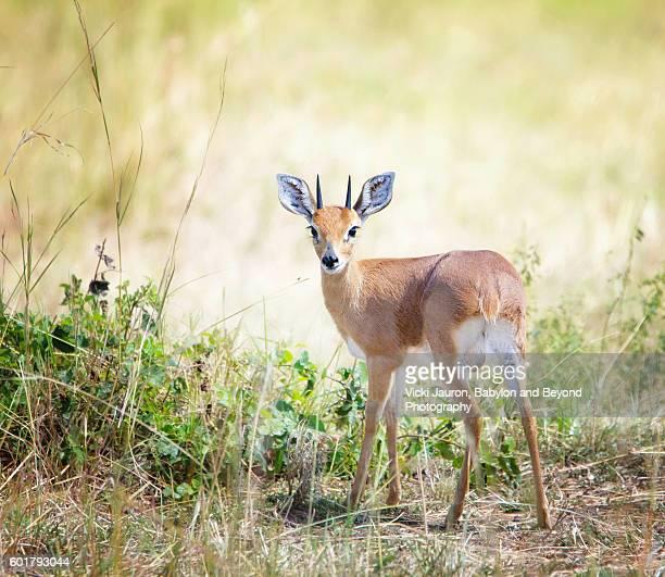 tiny klipspringer looking at camera in the serengeti, tanzania - tarangire national park stock pictures, royalty-free photos & images