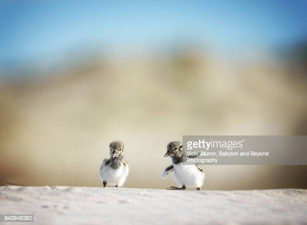 tiny oystercatcher chicks in the sand at nickerson beach - young animal stock pictures, royalty-free photos & images