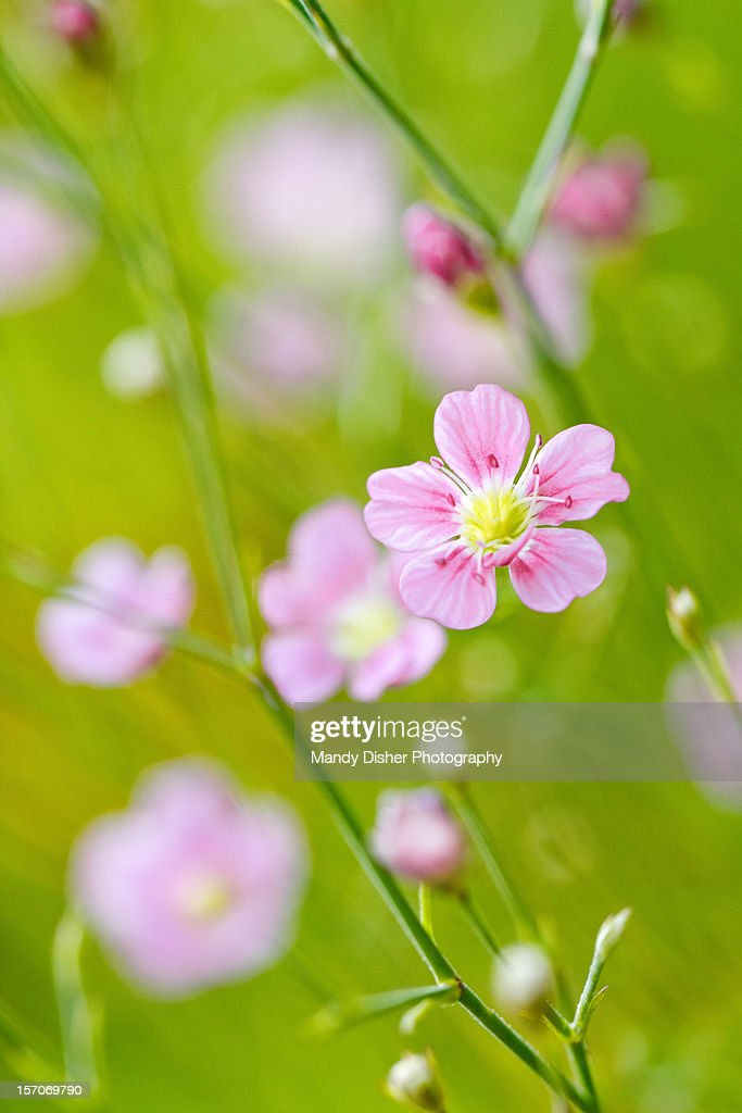 Tiny pink flowers stock photo getty images tiny pink flowers stock photo mightylinksfo