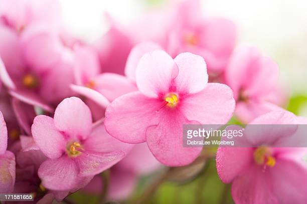 tiny pink violets - african violet stock photos and pictures