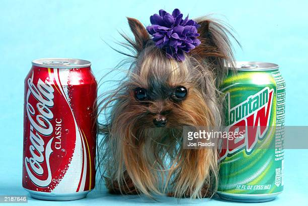 Tiny Pinocchio stands between two soda cans June 2 2003 in St Petersburg Florida Linda Hopson Tiny Pinocchio's owner is vying to have her dog named...