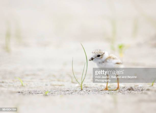 Tiny Piping Plover Chick Against Blades of Grass at Jones Beach