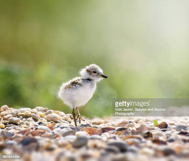 tiny piping plover chick at caumsett state park - huntington suffolk county new york state stock pictures, royalty-free photos & images