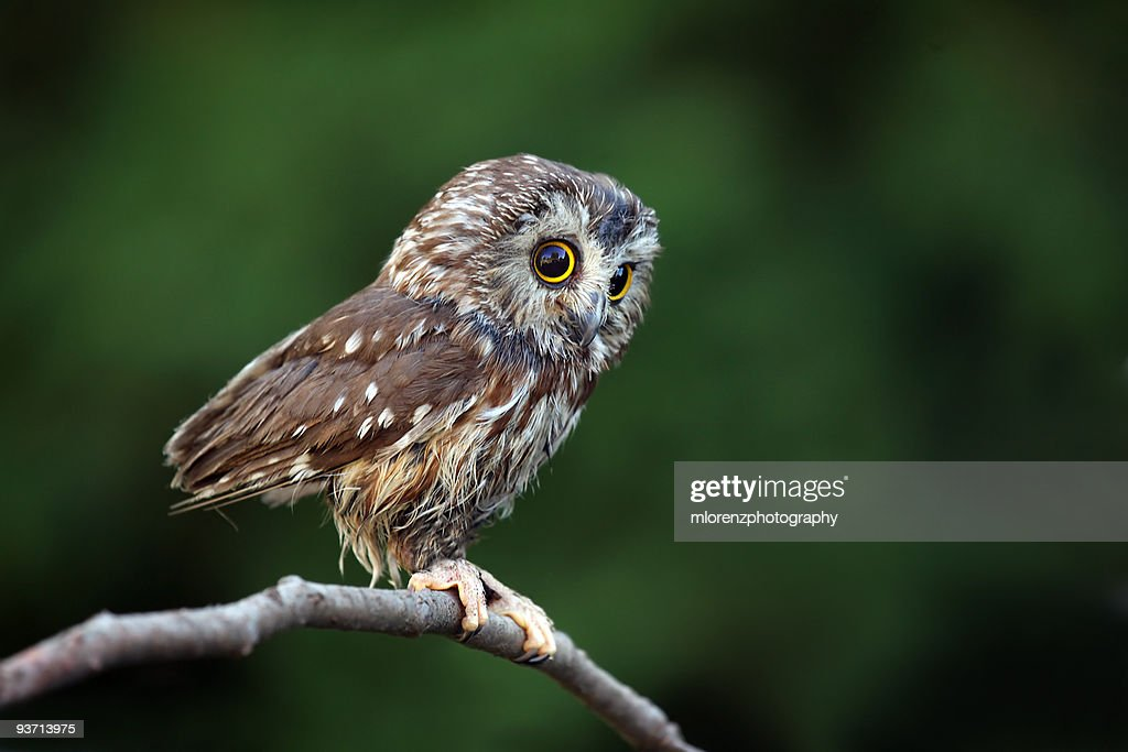 Tiny Northern Saw Whet Owl against a blurred background.