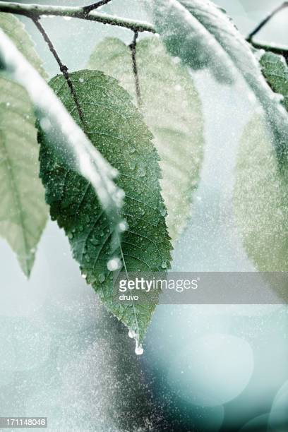 Tiny snow falling on a frozen leafs