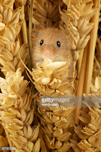 tiny tim - harvest mouse stock pictures, royalty-free photos & images