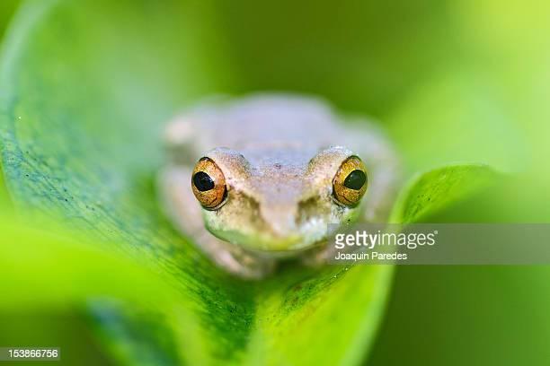 A tiny Tree Frog
