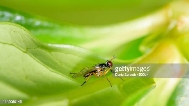 tiny wasp-like fly - african wasp stock pictures, royalty-free photos & images