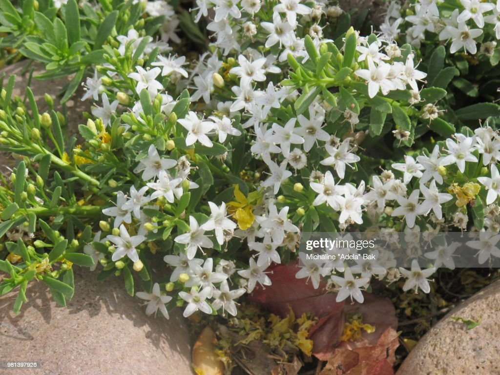 Tiny White Flowers In Macro Stock Photo Getty Images