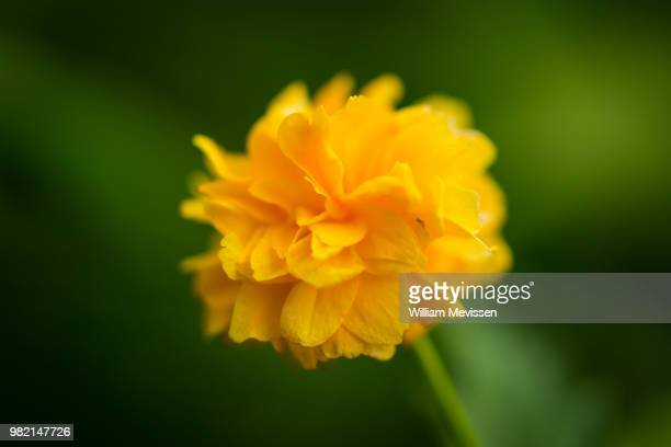 tiny yellow flower - william mevissen stock pictures, royalty-free photos & images