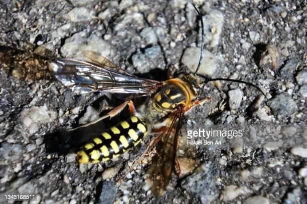 tiphiid wasps close up - rafael ben ari - fotografias e filmes do acervo